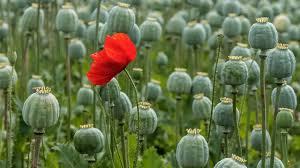 The  Joy Plant